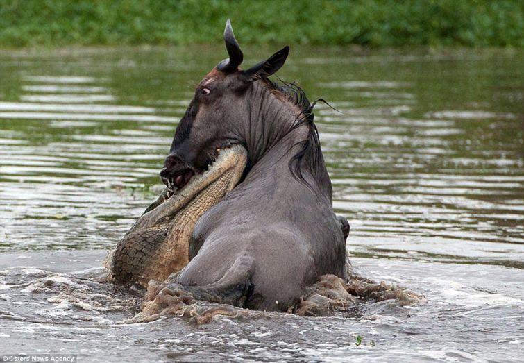 бегемот и крокодил против гну, крокодил напал на антилопу гну, бегемот крокодил и гну