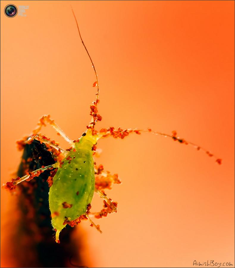 aimishboy 009 Удивительная макрофотография: неожиданно гламурные насекомые и многое другое