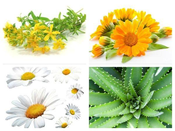 Растения которые помогают при воспалительных процессах