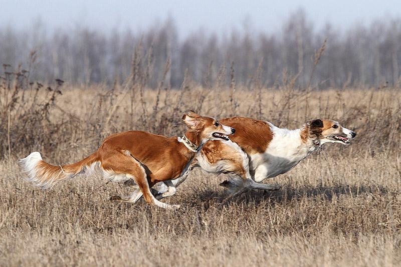 """Безоружейная охота, или охота на зайца с борзыми """"по-зрячему"""""""