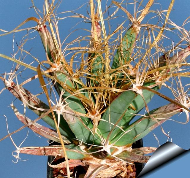 Самые уникальные в мире кактусы