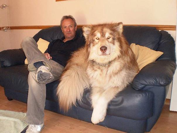 10. Только взгляните на этого гиганта размер, собака