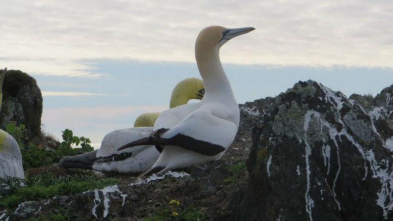 Самая одинокая птица Новой Зеландии умерла в окружении своих бетонных копий