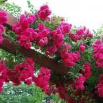 """Роза """"Super Excelsa"""" в саду"""