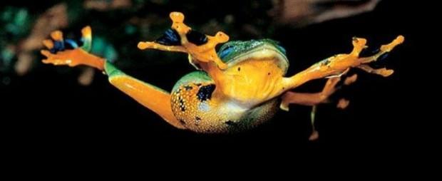 ТЕРЕМОК. Яванская летающая лягушка