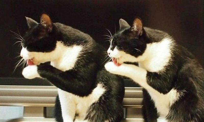 Малоизученный, но отчаянно смешной факт — кошки могут синхронизироваться