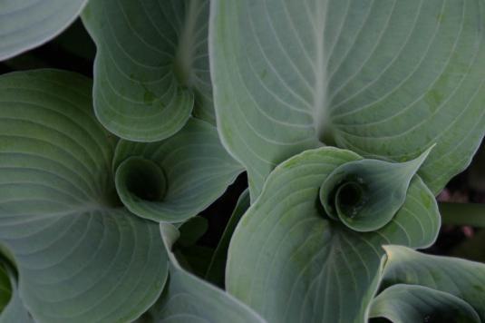 Хоста Зибольда (hosta sieboldiana)