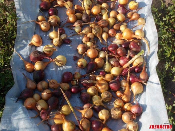Как вырастить репчатый лук из семян за один сезон