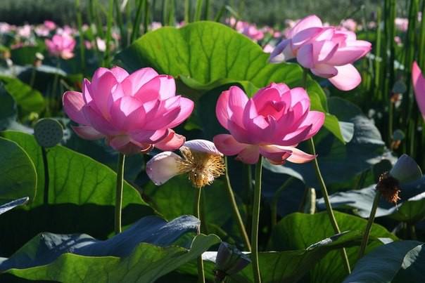 3)Волгоградская область лотос, природа, путешествия, растения, цветы