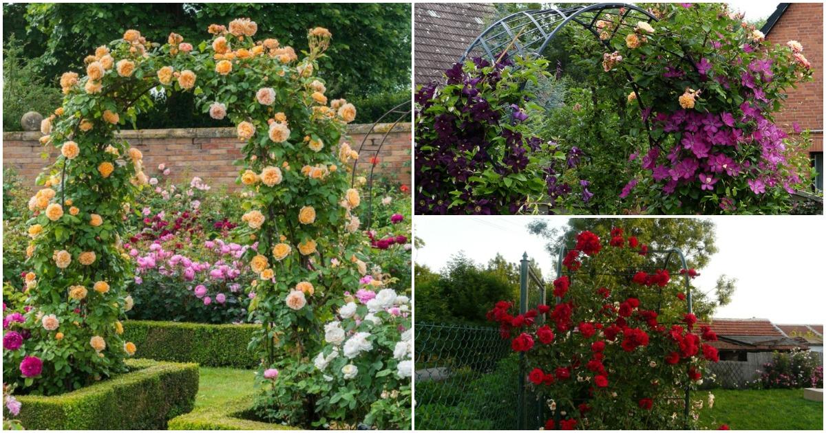 Великолепные вьющиеся розы: сделайте свой сад уникальным