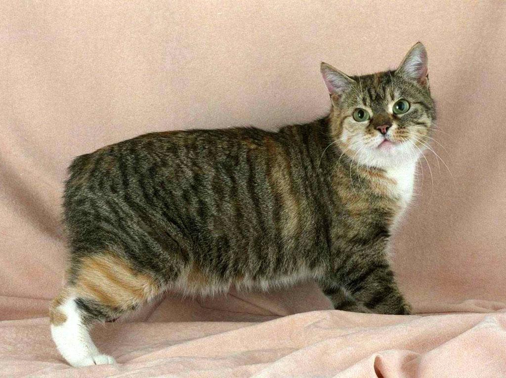 Манкс, мэнкс, мэнкская кошка, фото породы кошек фотография