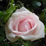 "Роза ""New Dawn"" цветок"