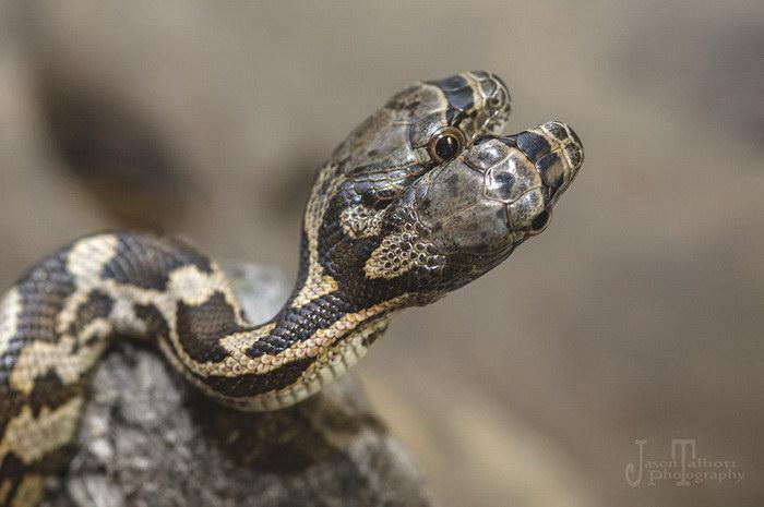 Двуглавая змея в фотографиях Jason Talbott
