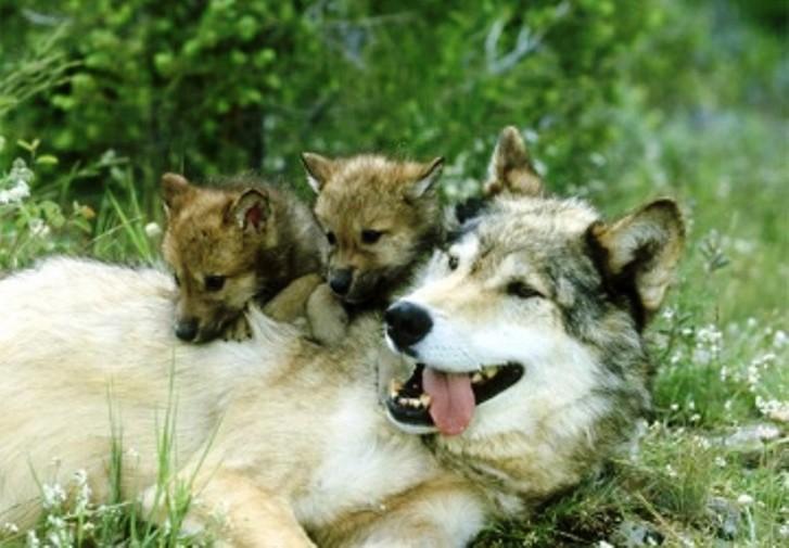 Власти Норвегии уничтожают популяцию скандинавского волка