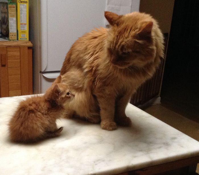 33. Две апельсинки котенок, кошка