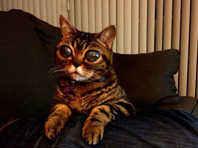 кошка инопланетянка из Британии