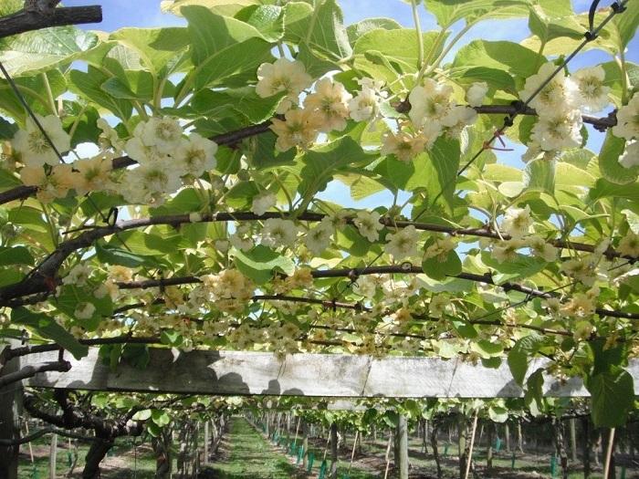 Крупные древовидные лианы родом из Китая.