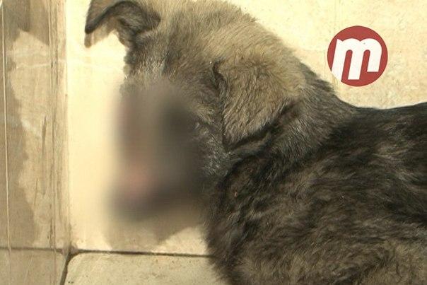 Жители Бурятии собирают деньги на лечение изувеченного топором щенка.