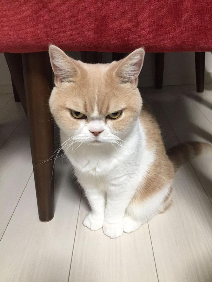 Meet Japanese Grumpy Cat, Who Is Even Grumpier Than The Original One