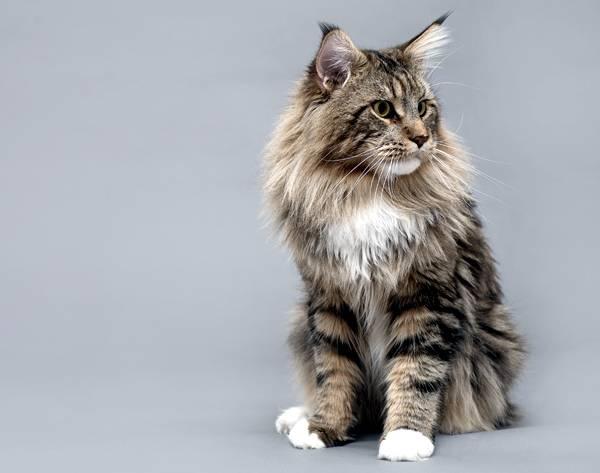 Мейн-кун, или американская енотовая кошка, фото породы кошек фотография
