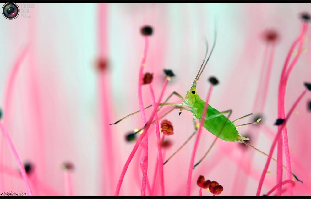 aimishboy 001 Удивительная макрофотография: неожиданно гламурные насекомые и многое другое