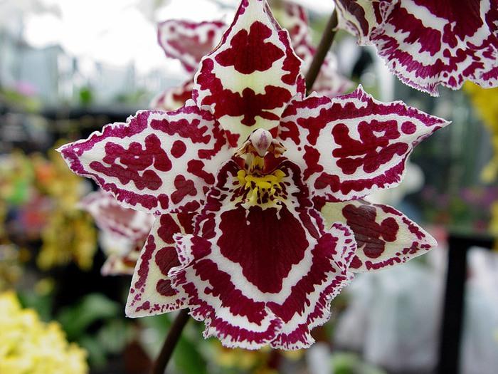 5230261_orhideya_dop (700x525, 122Kb)