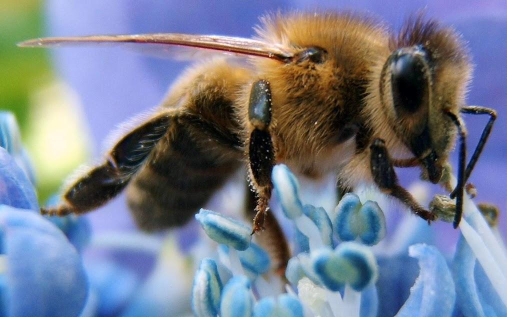 Гибель пчел сулит человечеству вымирание?