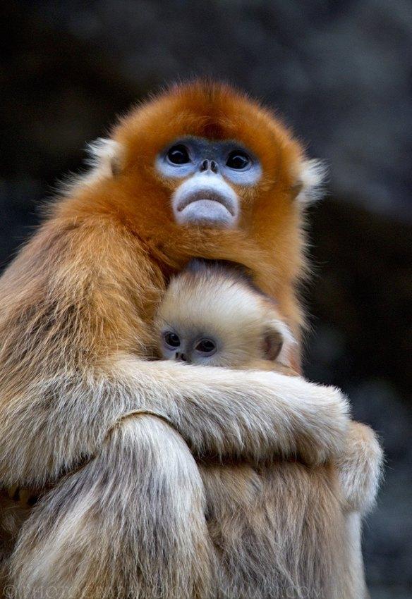 Парк обезьян дзигокудани, префектура нагано, япония