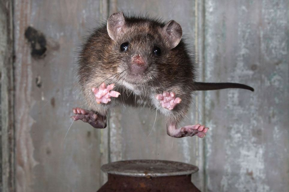 Тайны мира Что мы знаем о крысах?
