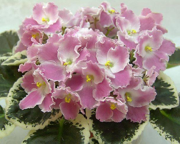 Фиалки почему мало цветов