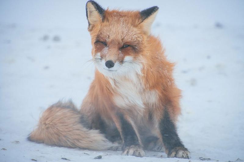 Горный инженер Иван Кислов в свободное время фотографирует лис за полярным кругом