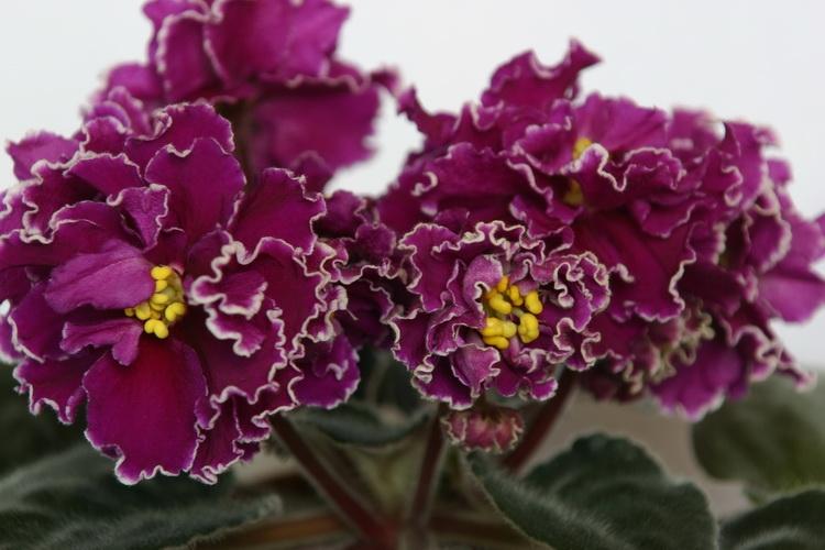 цветы сенполия