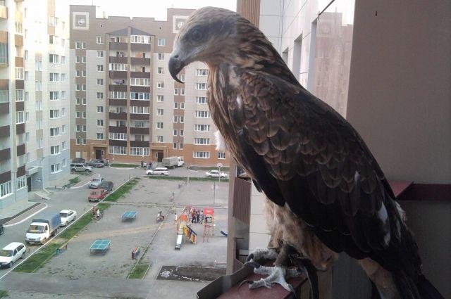 Хищные дикие птицы в большом городе: проблемы и помощь