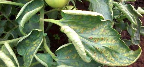 Причины скрученных листья у помидоров