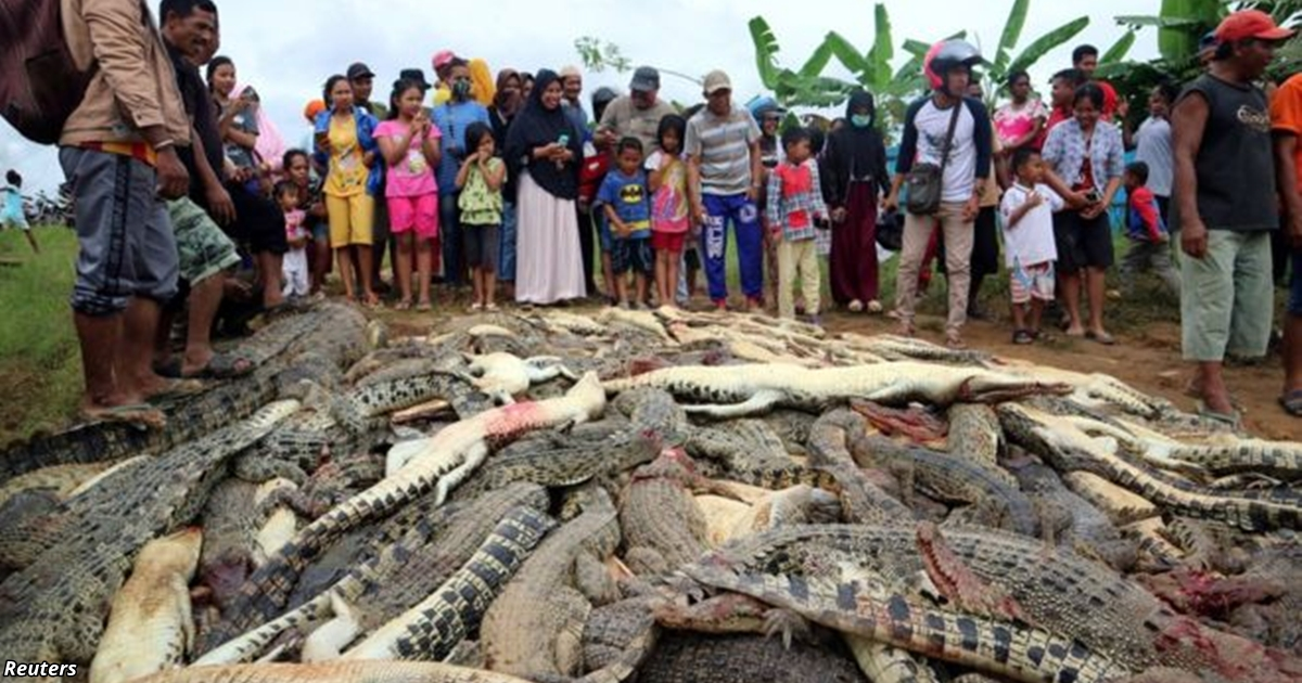 В Индонезии разъярённая толпа убила 300 крокодилов из-за желания мстить. Вот как все было