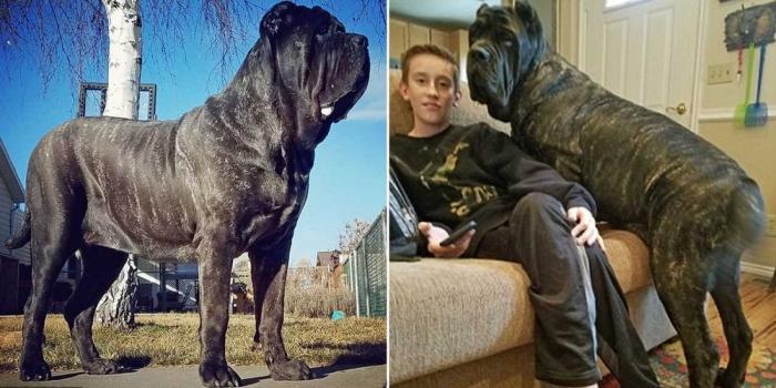 Самый большой в мире щенок, потомок месопотамского молосса
