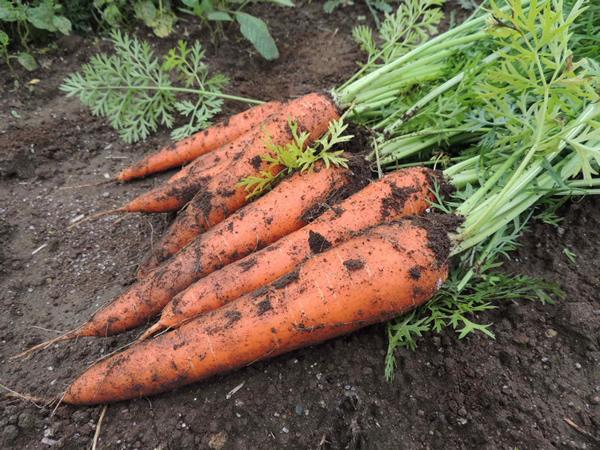 "Морковные ""эксперименты"""