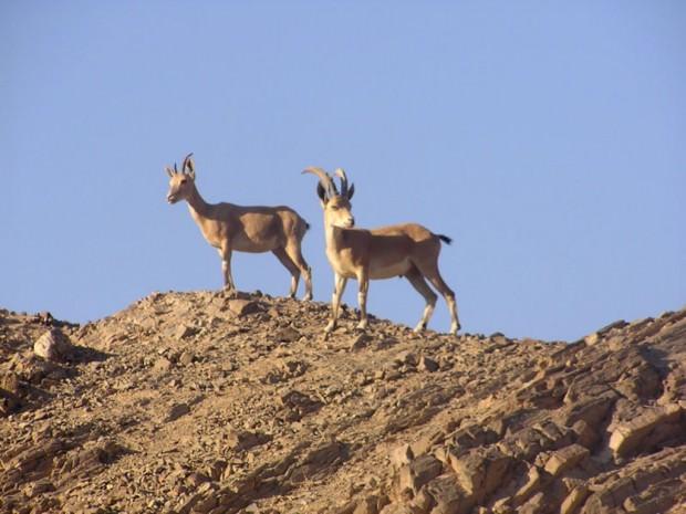 ТЕРЕМОК. Ибексы или альпийские горные козлы