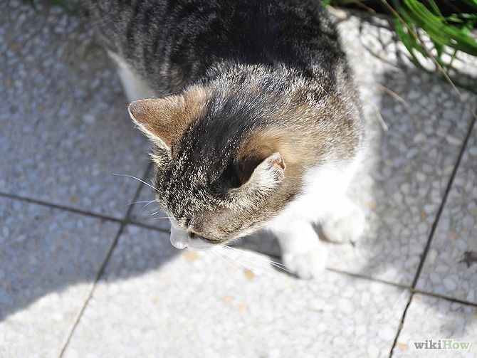 Can you get sick from cat urine