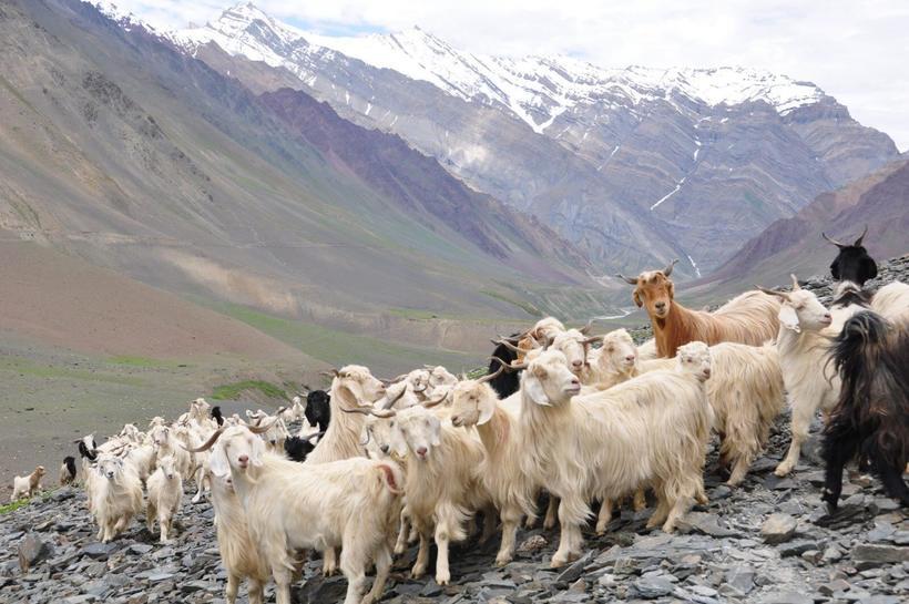 Почему натуральный кашемир производят только в горах Азии и больше нигде в мире