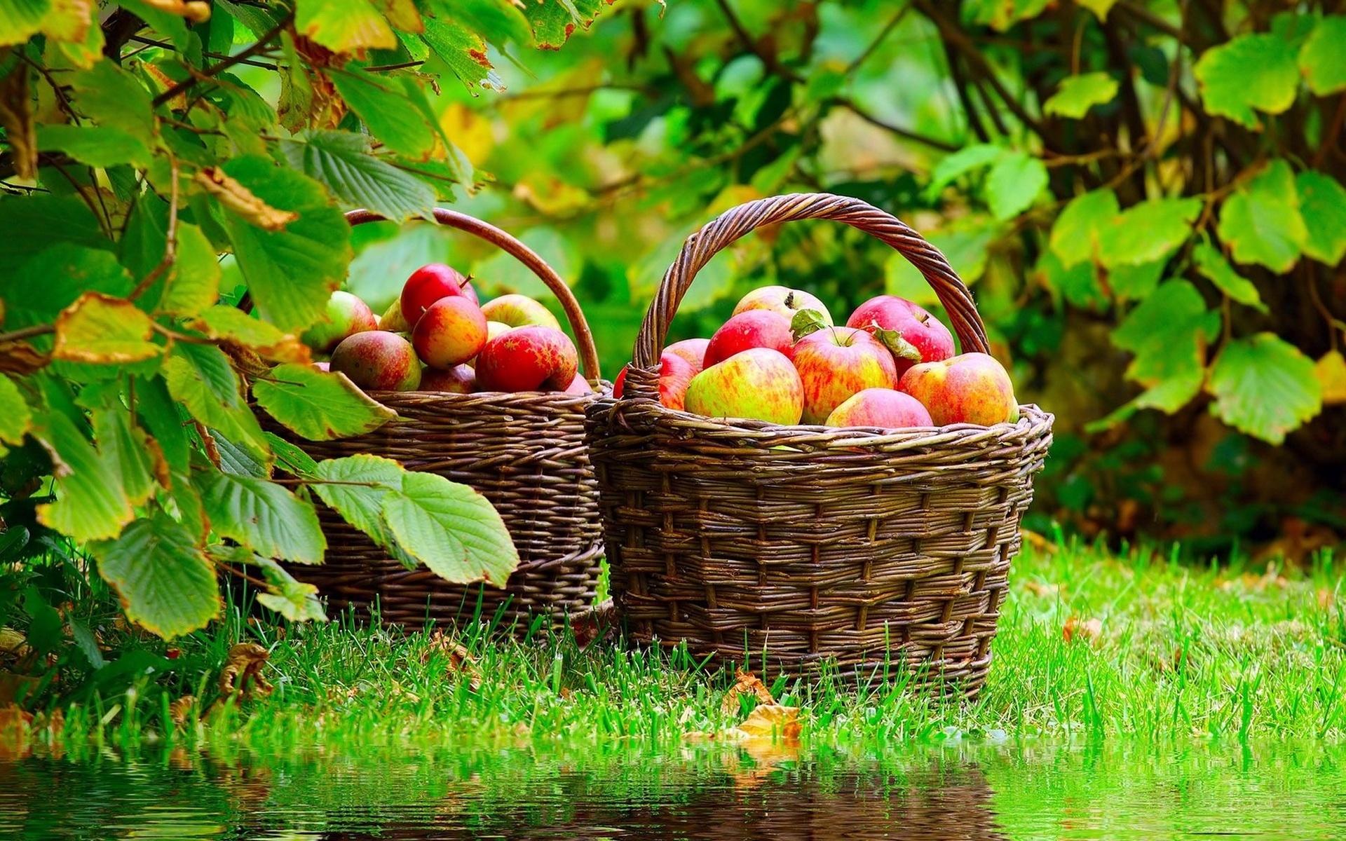 Урожай яблок: о каких пробле…