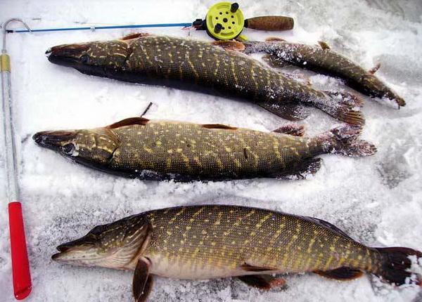 купить живца для рыбалки в бердске