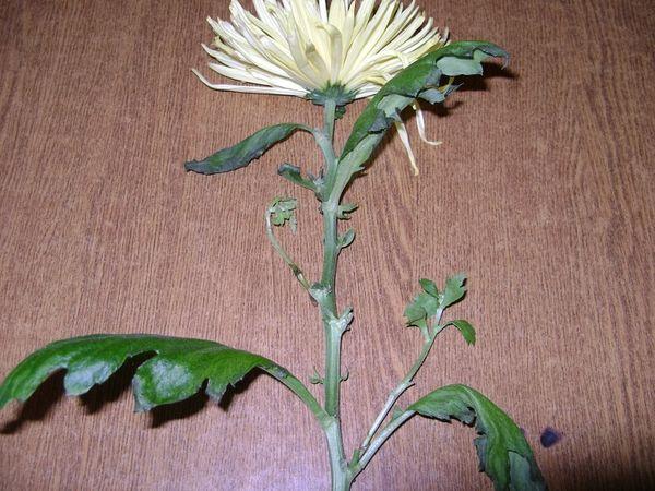 Вторая жизнь хризантемы. А вам случалось укоренить растение из букета?