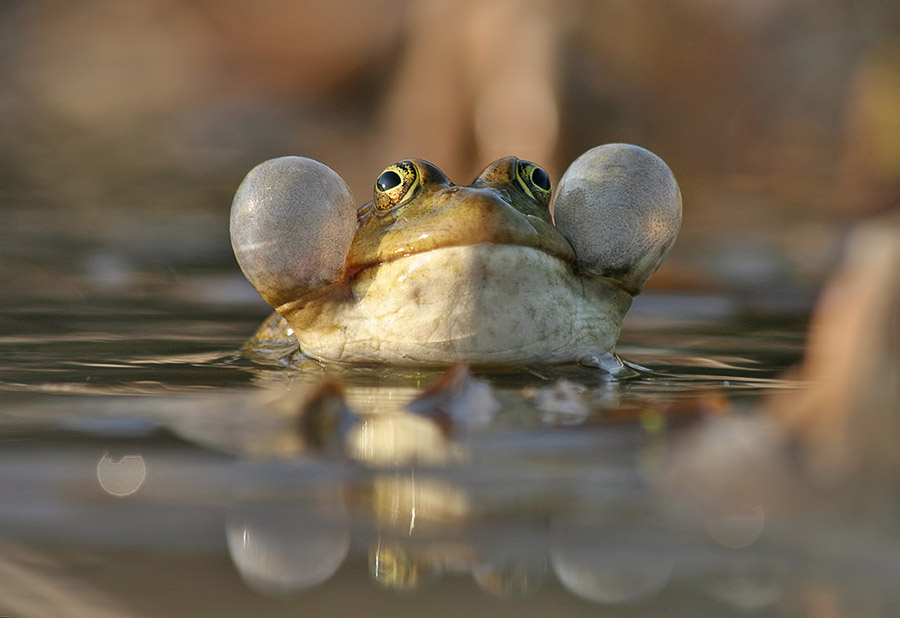 Надутые лягушки