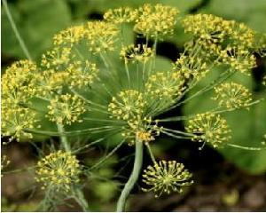 Очищение сосудов семенами укропа