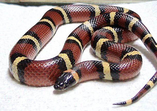 11. Поперечнополосатая королевская змея (Milk snake) животные, факты