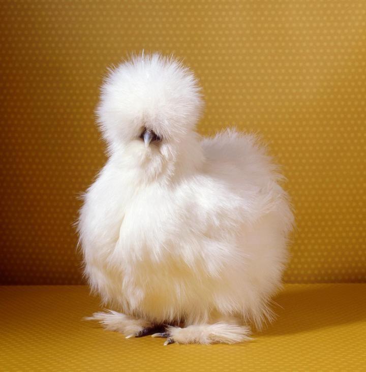 Про удивительных китайских шелковых куриц…