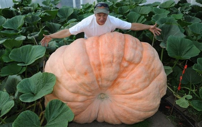 Удивительные овощи-рекордсмены: вилок капусты весом в 60 кг, тыква размером с карету и другие гиганты полей и огородов
