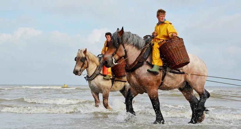 Как лошади помогают бельгийцам ловить креветок: промысел, которому более 500 лет