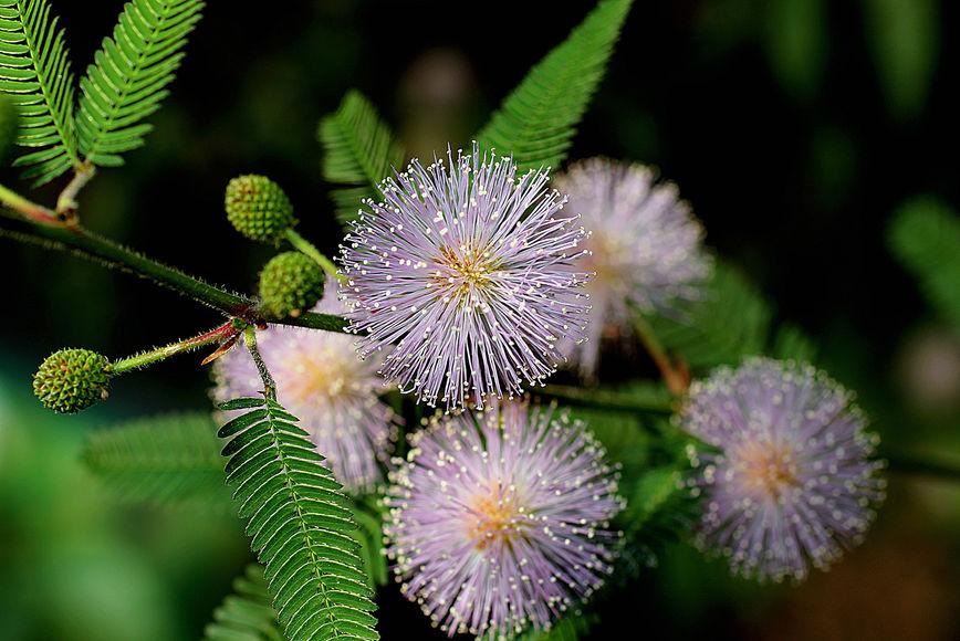 Мимоза стыдливая: растение, которое отличает друзей от врагов. И запоминает